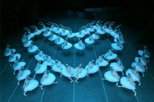 Tickets to the Swan Lake Are Selling Out Fast